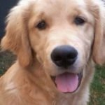 Case: Canil especializado na venda de Golden Retriever