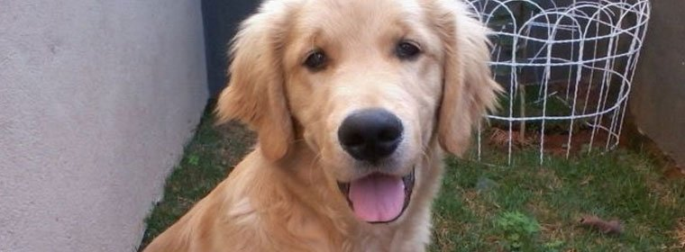 golden-retriever-simba
